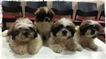 Aquests preciosos cadells de Shih-tsu van venir ahir a revisió i a per la seva primera vacuna!