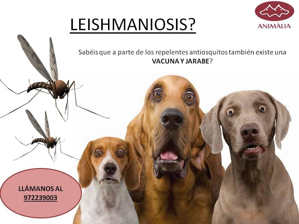 PRIMAVERA-VERANO-OTOÑO: LEISHMANIOSIS. NUEVA VACUNA!