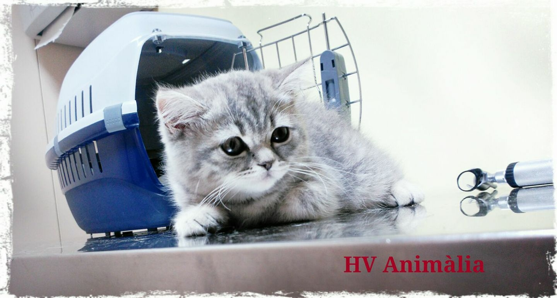 Sabeu com portar adequadament als vostres gats dins el transportí per anar al veterinari?
