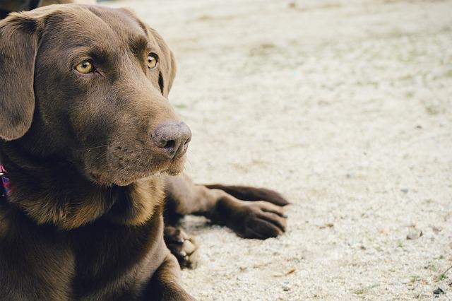 Qüestionari de disfunció cognitiva en gossos