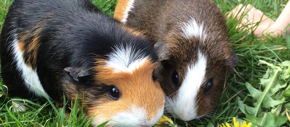 Les cobayas també necessiten revisions anuals al veterinari?
